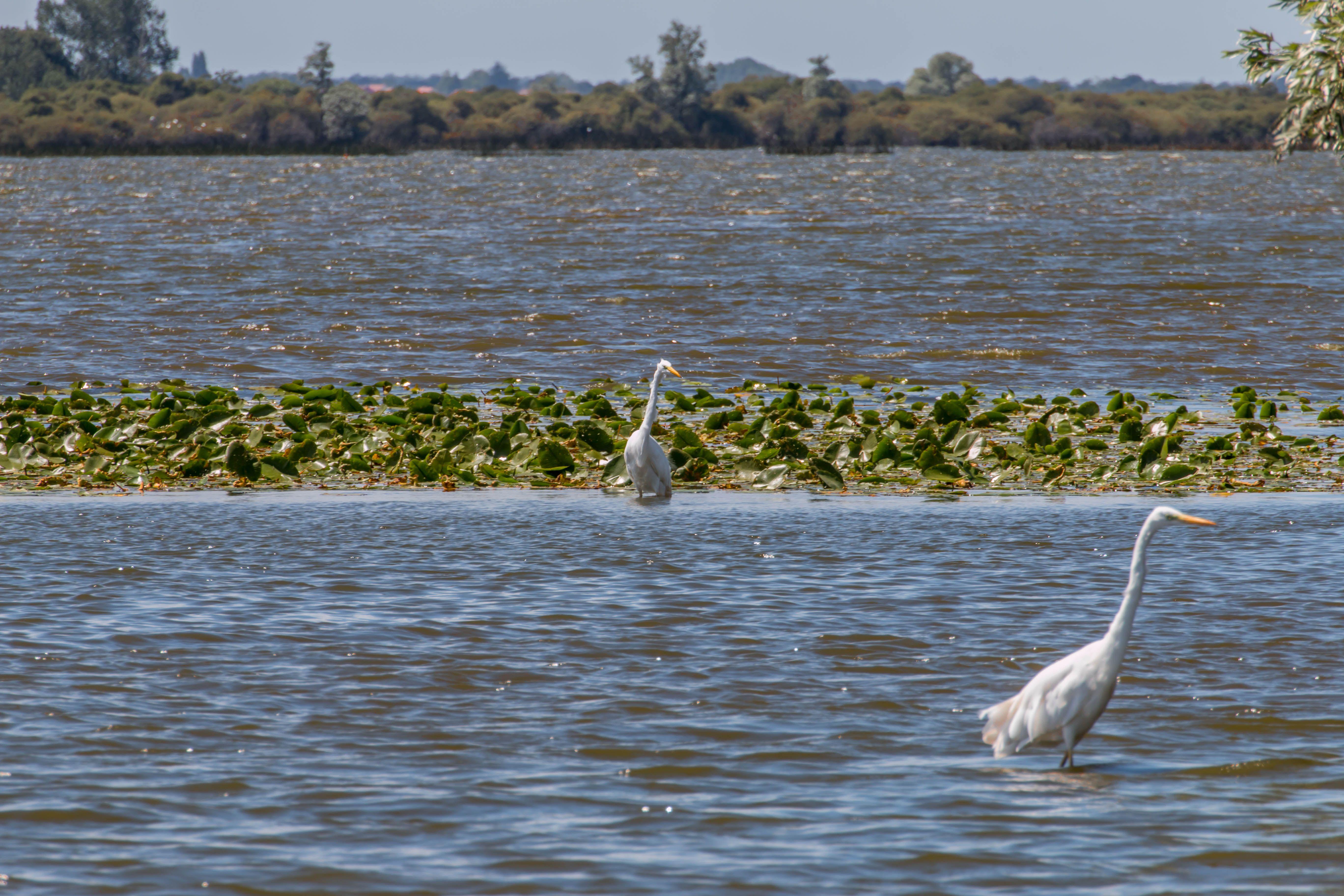 Héron sur un lac, en Loire-Atlantique
