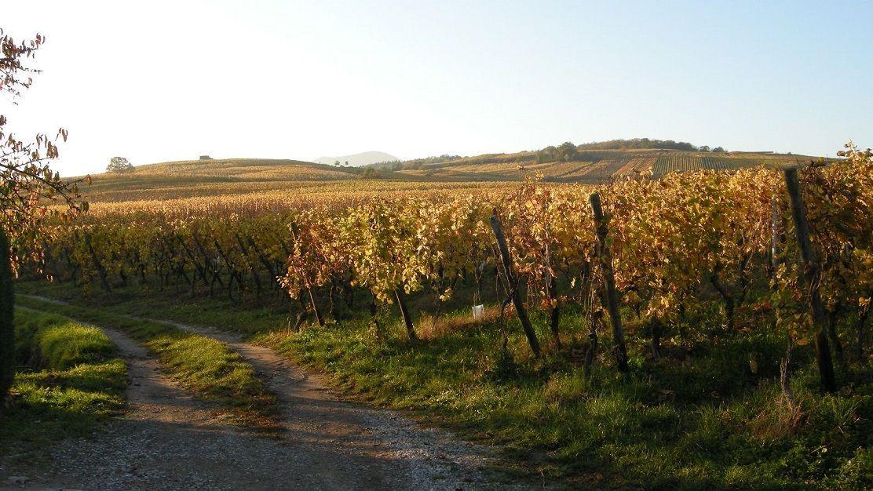 Vignoble à Mittelbergheim
