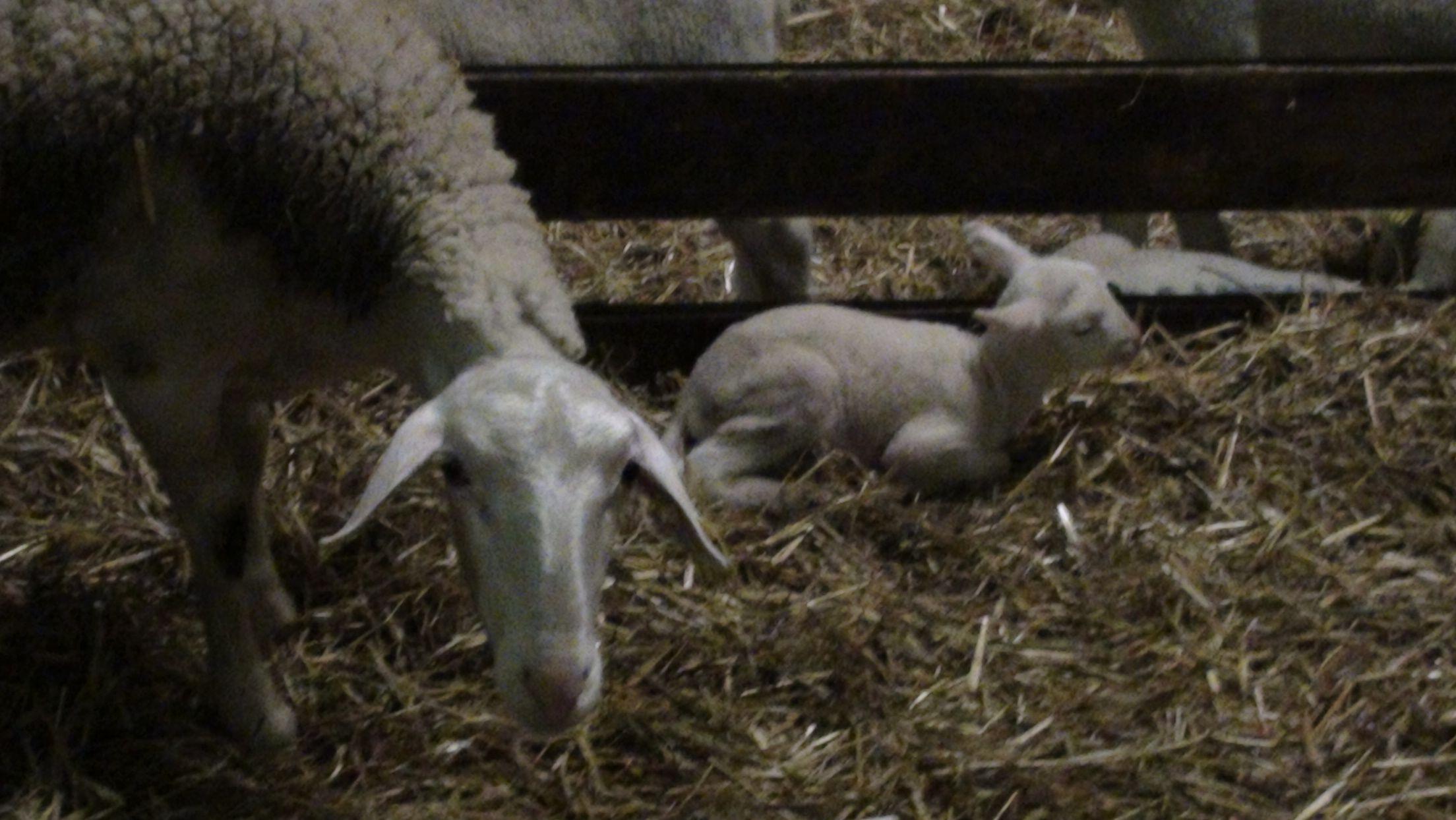 une naissance à la bergerie!