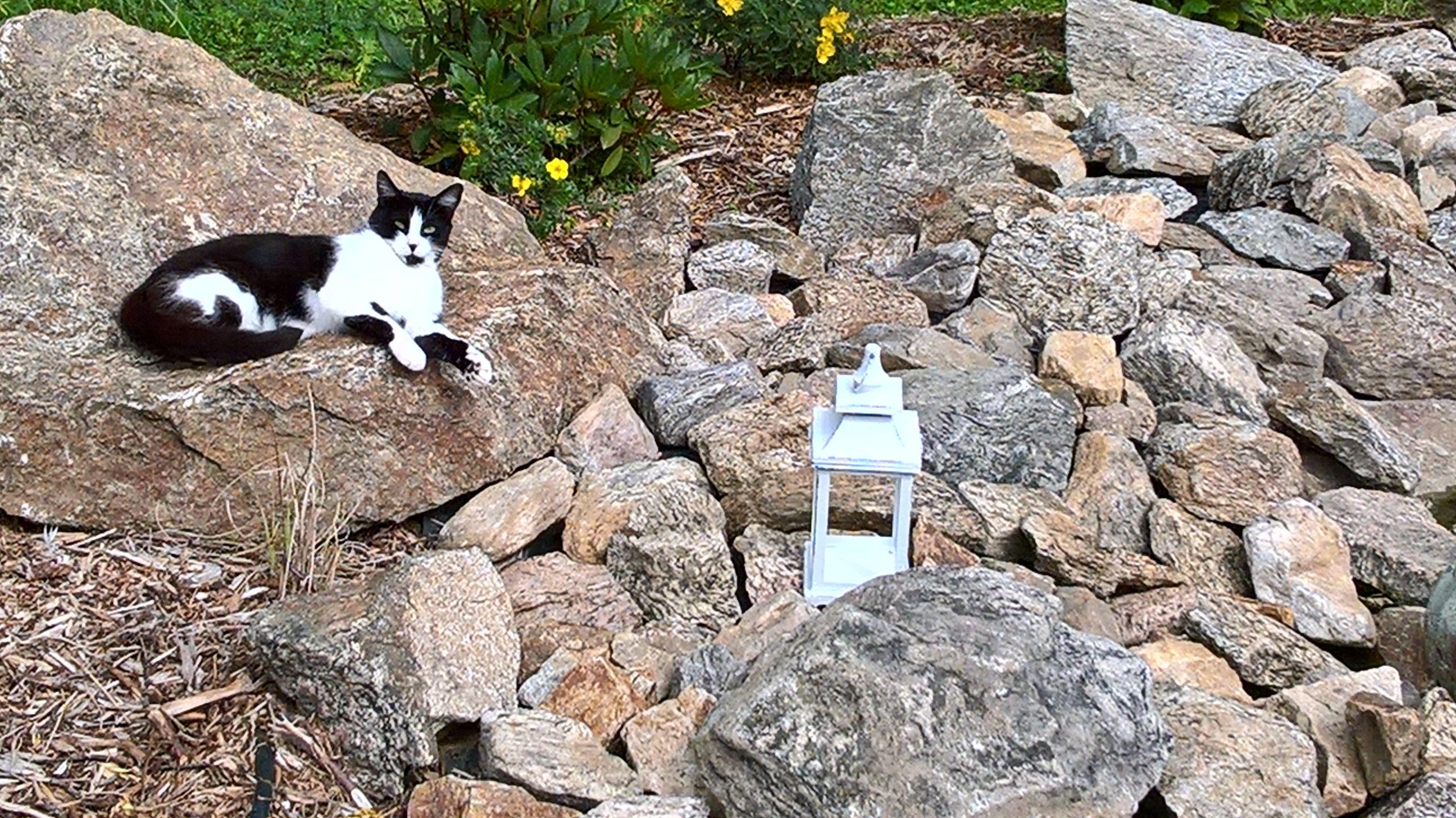 le chat s'est installé sur les pierres du jardin