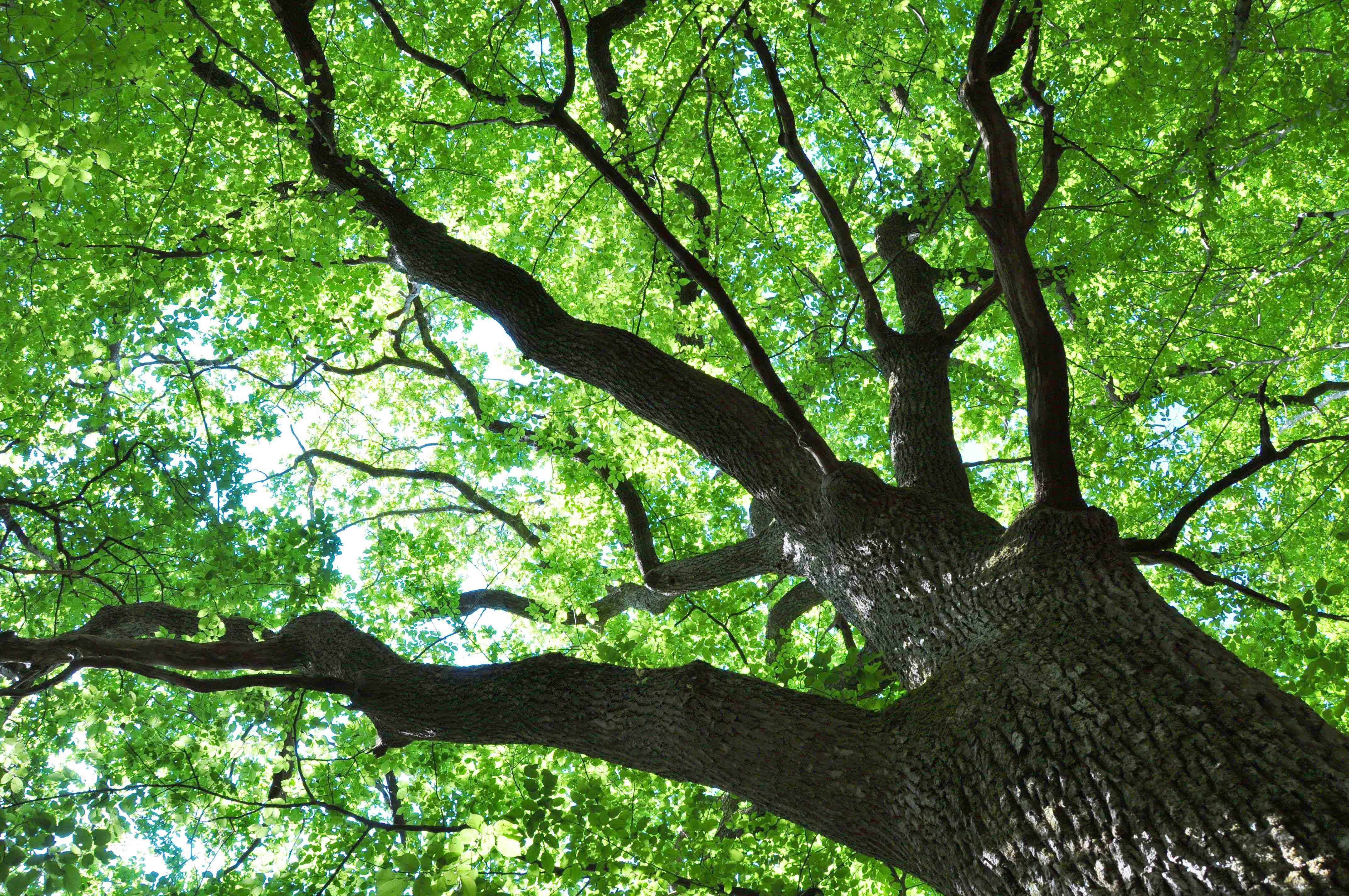 Un chêne centenaire du Ris de feu