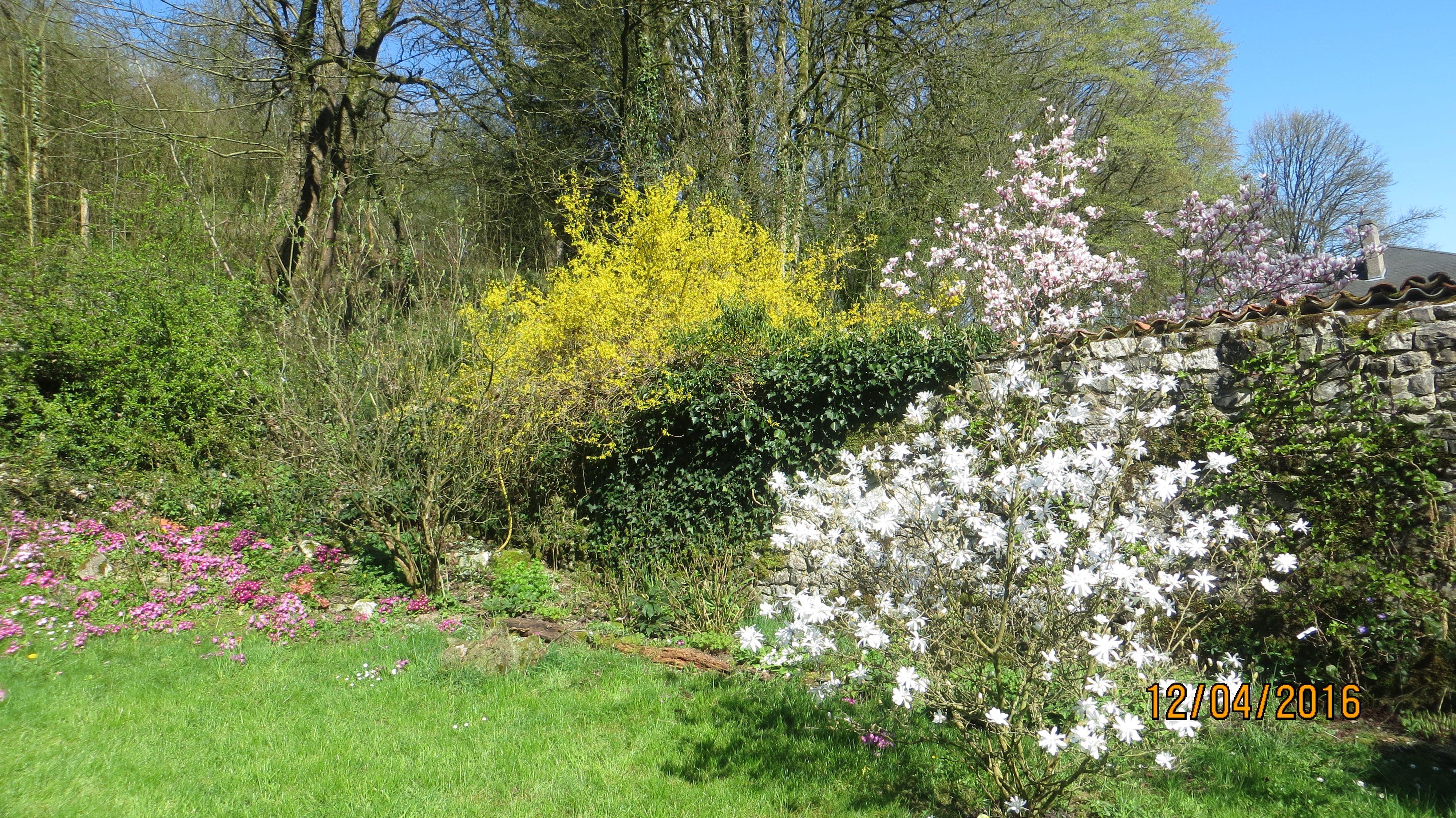 Magnolia étoilé en fleur