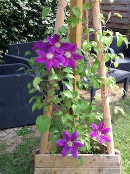 La clématite au salon de jardin
