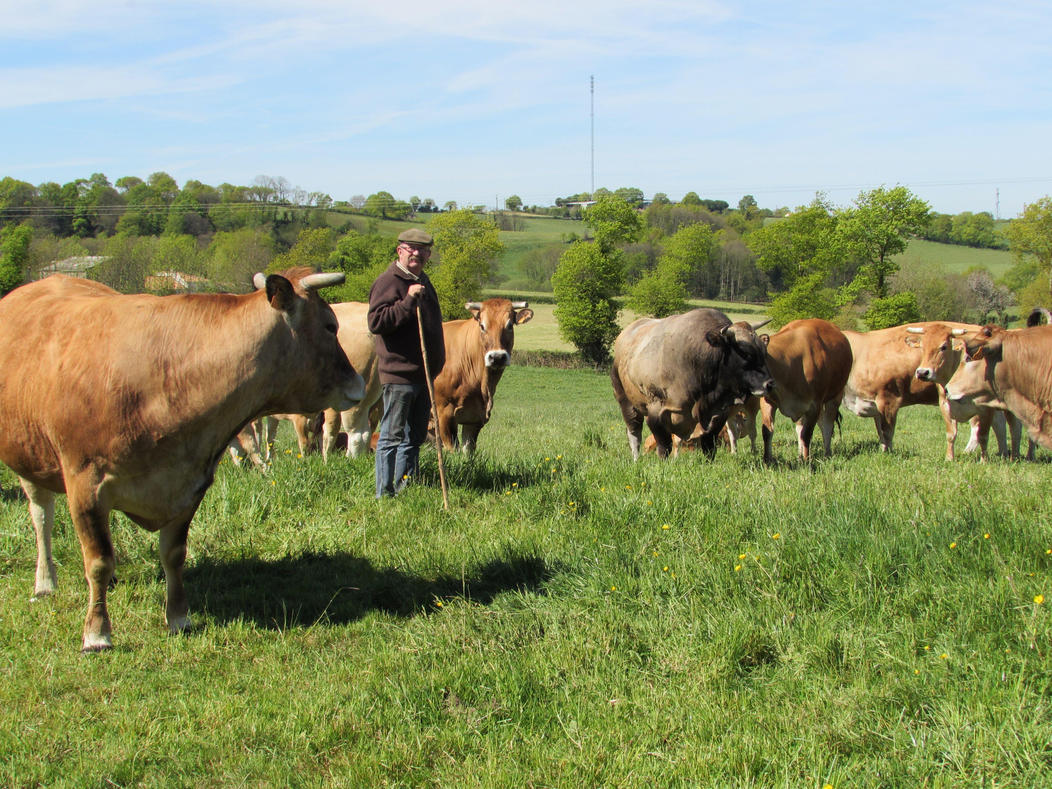 Joseph et ses vaches