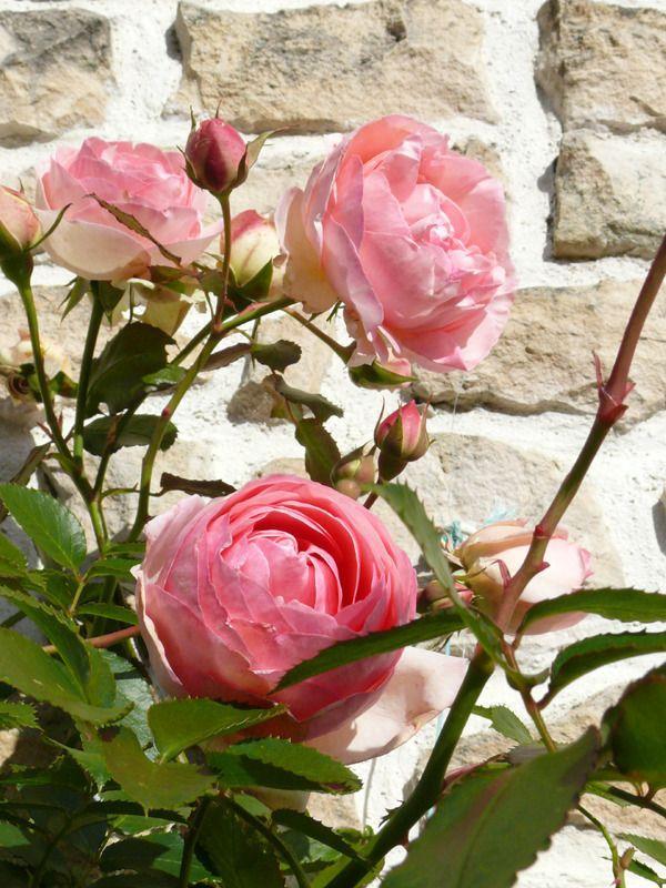 rosier Pierre de Ronsard