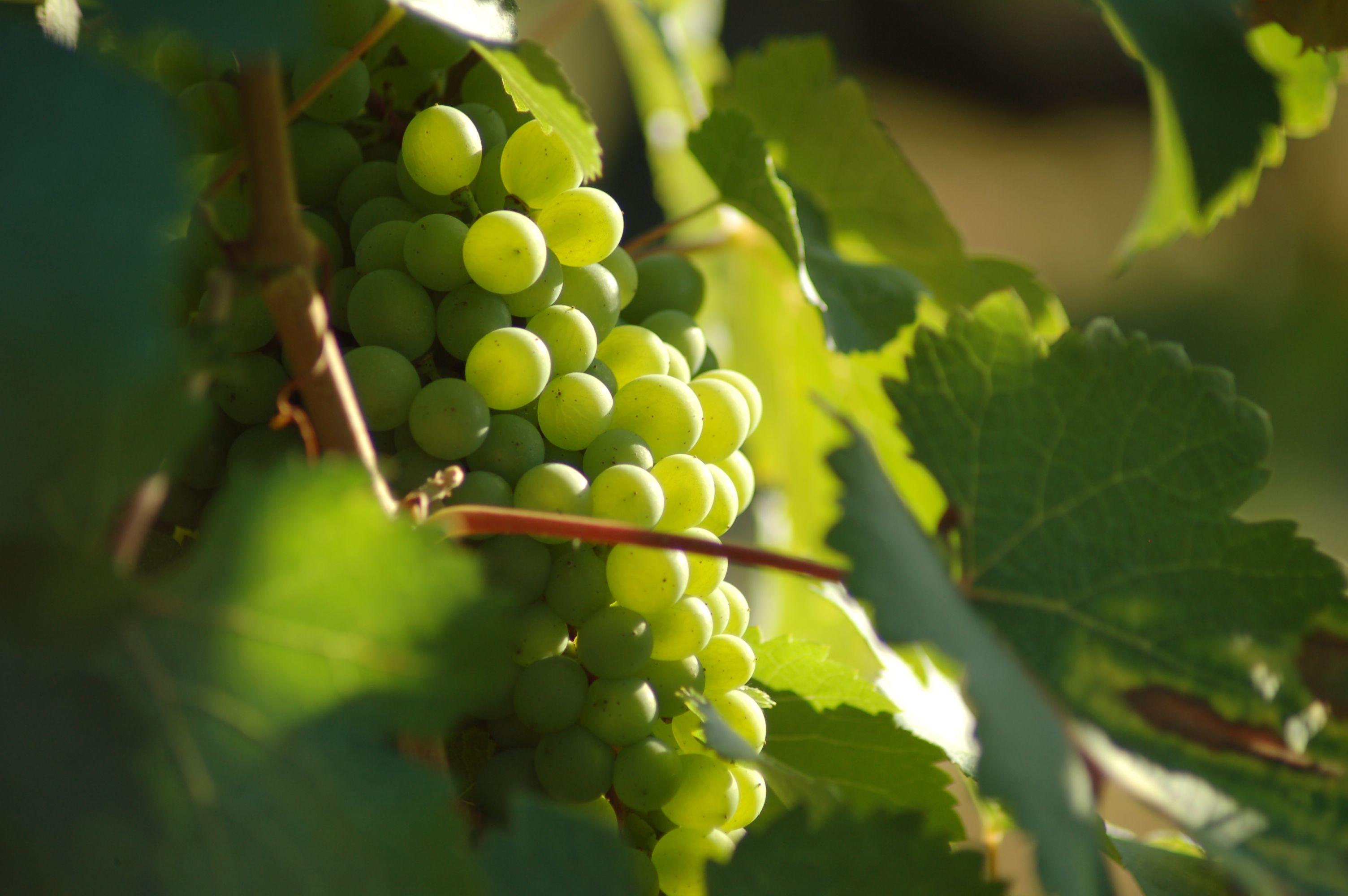 Grappe de raisin provenant d'une vigne de Loire-Atlantique