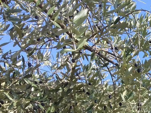 Notre olivier, visible depuis la piscine et l'espace détente