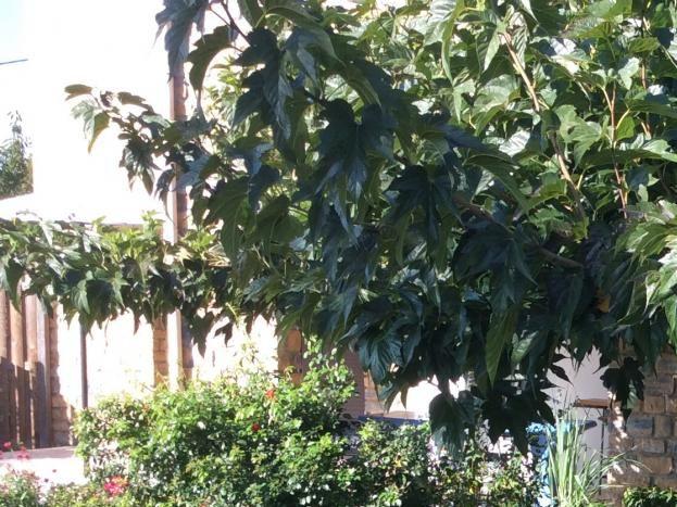 dans le grand jardin, un coin de fraîcheur sous le murier platane