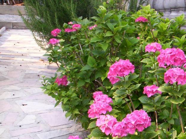 les hortensias de la propriété