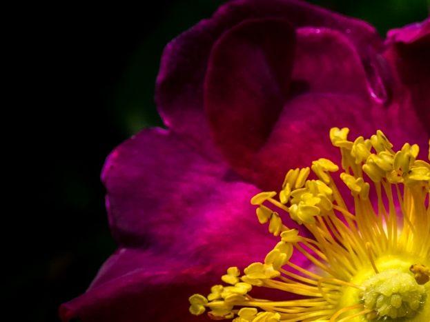 Une rose dans le jardin..