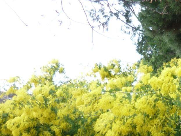 arbre de mimosa