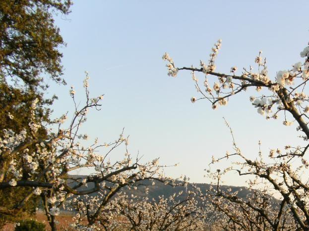 Février/Mars : vergers en fleurs devant le gîte