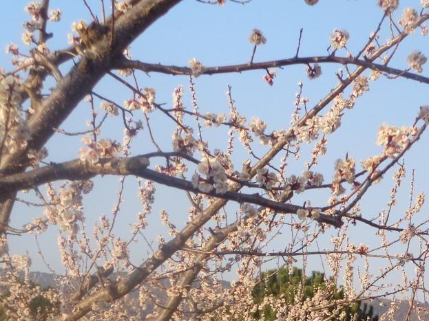 Abricotiers en fleurs devant le petit gîte