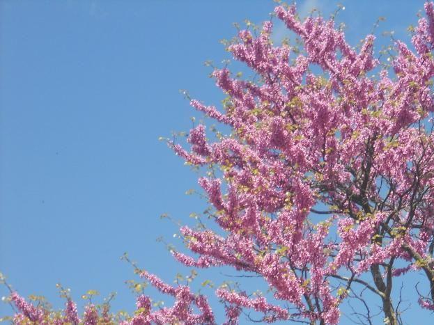 Arbres de Judée bordant la rivière, magnifique floraison en avril.