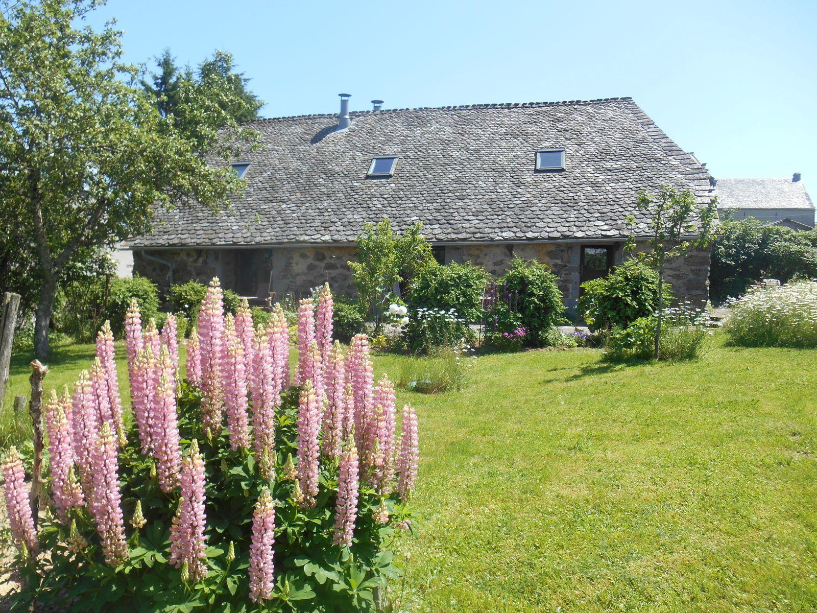 Lupins en fleur dans le jardin