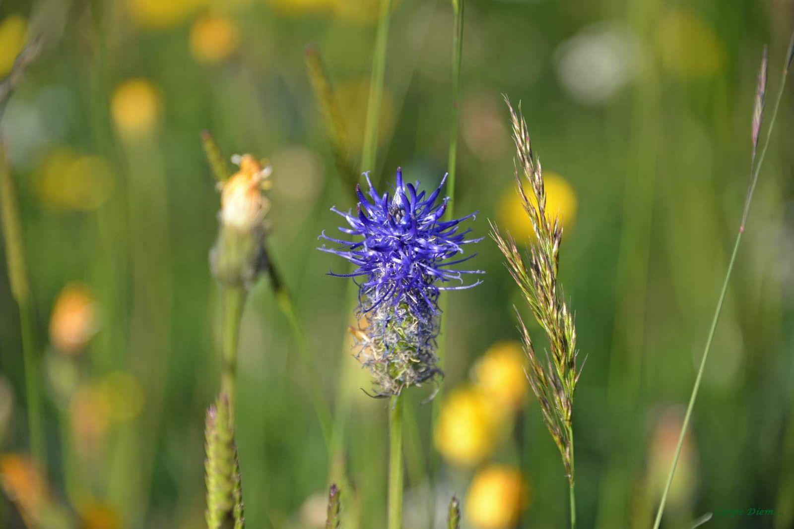 Flore de l'Aubrac, l'une des plus riches d'Europe. Venez la découvrir.