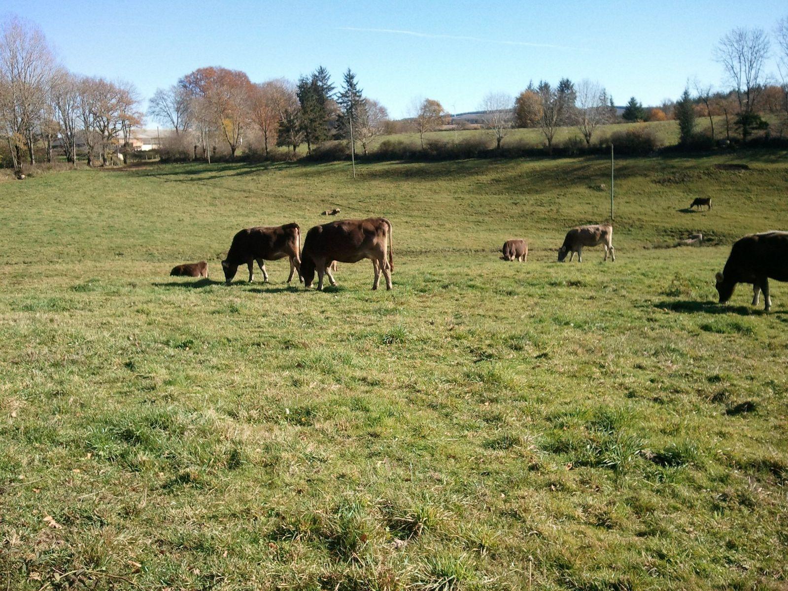 Notre troupeau de vaches laitières.