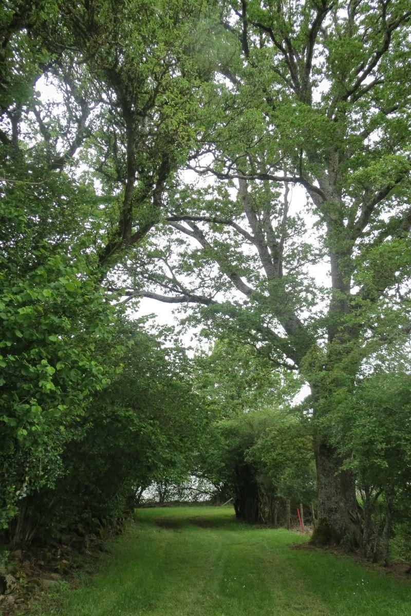 Allée de la maison au lac bordée de chênes centenaires