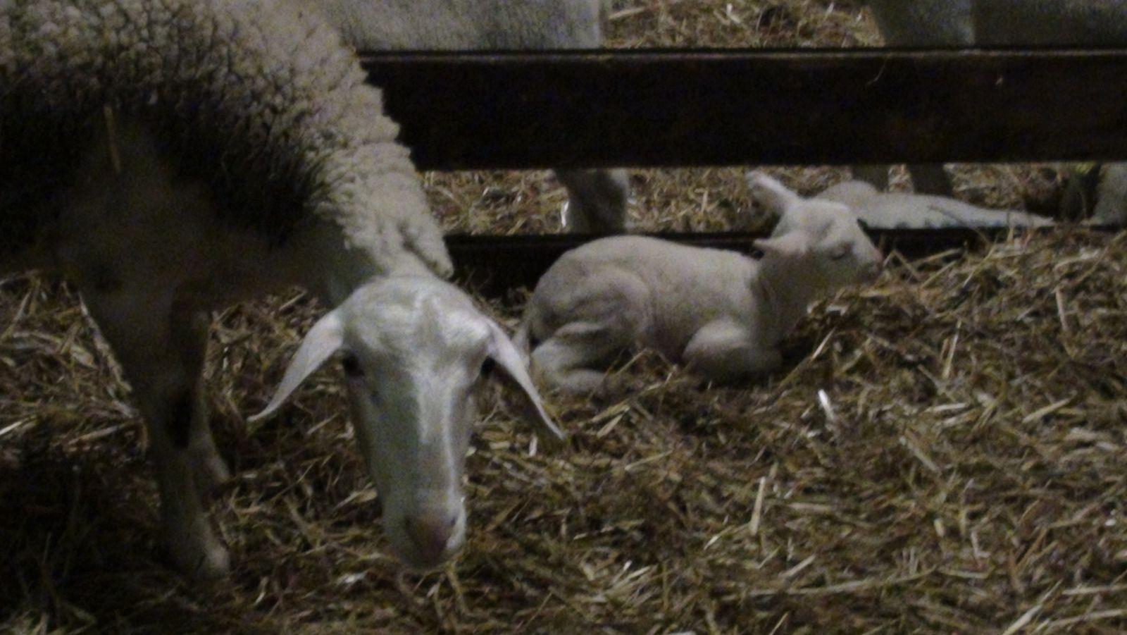 une naissance!!! maman brebis et son petit