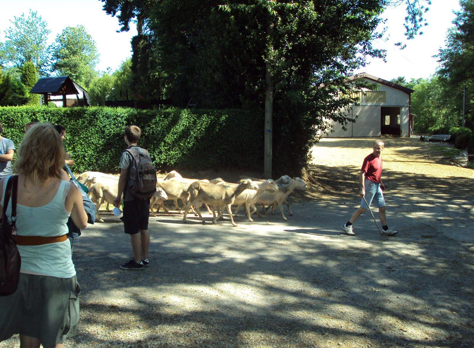 conduire le troupeau de brebis du pré à la bergerie