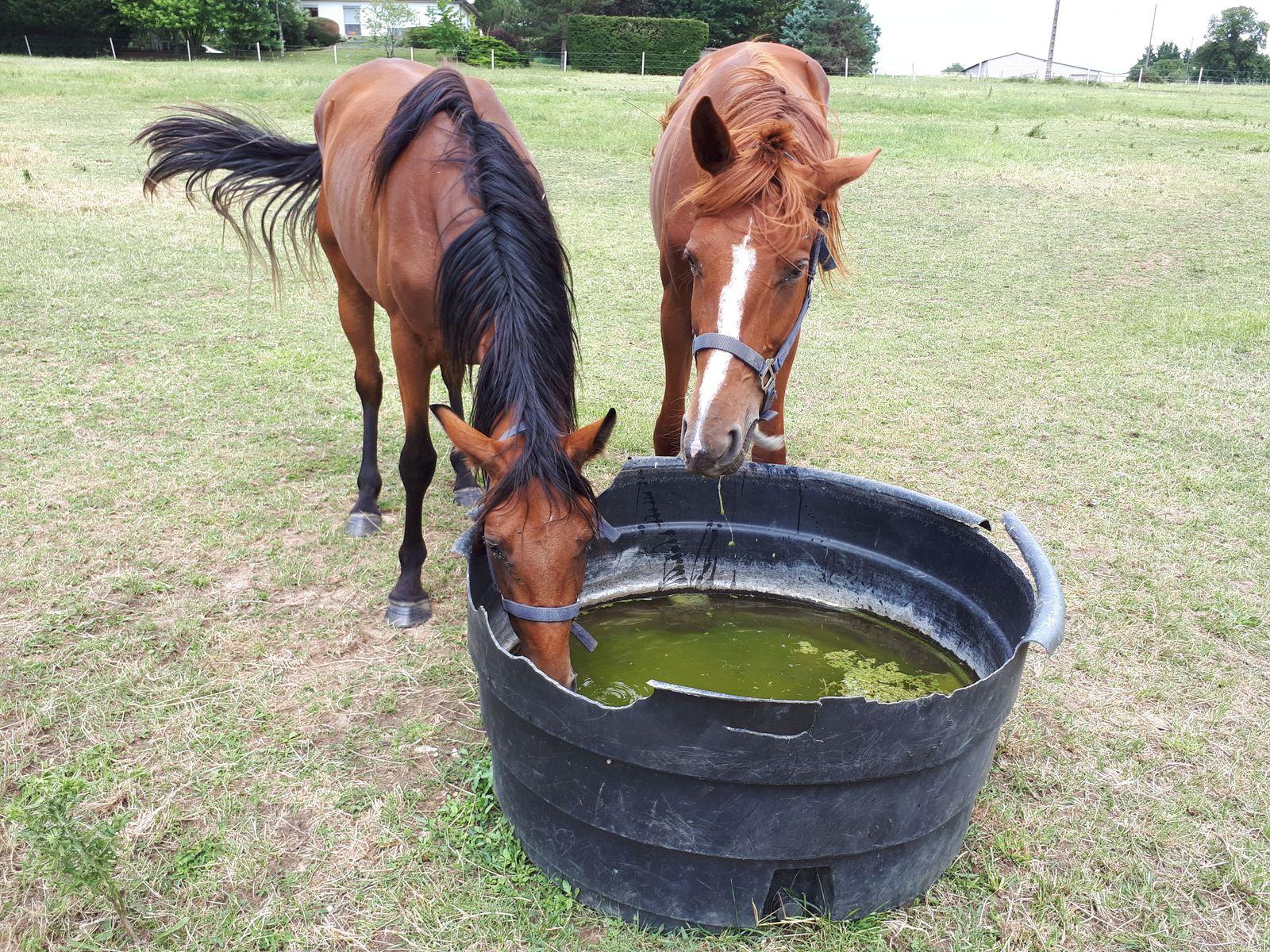 chevaux de la propriété