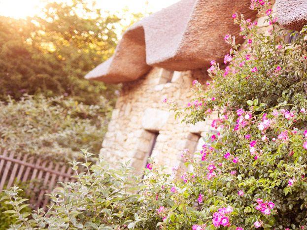 Le rosier fleuri au printemps