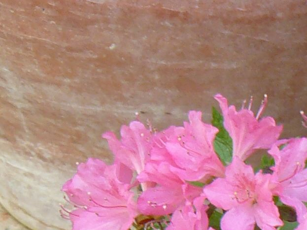Les azalées dans le jardin de la Maison de Saumur, chambres d'hôtes