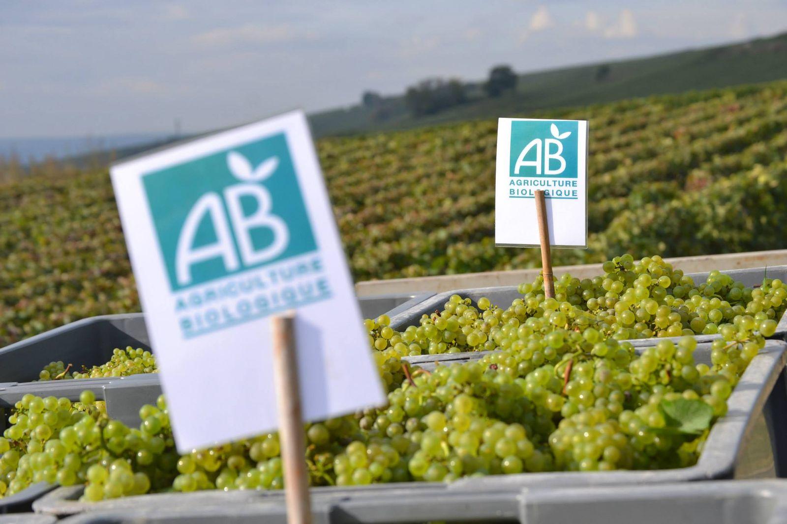 Nos raisins Chardonnay 51G472 - La maison du vigneron - Vincelles - Gîtes de France Marne