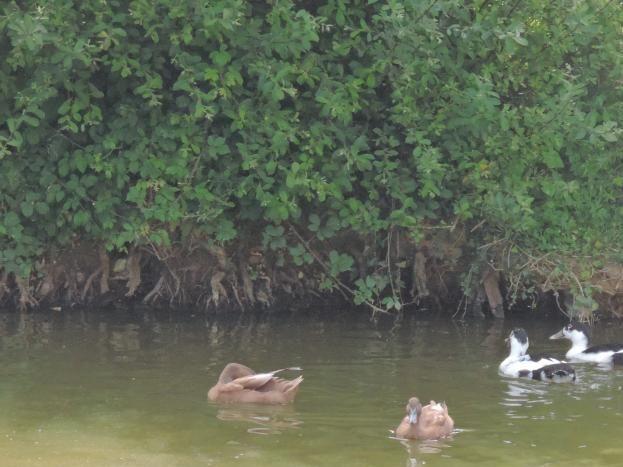 canes et canards sur la mare
