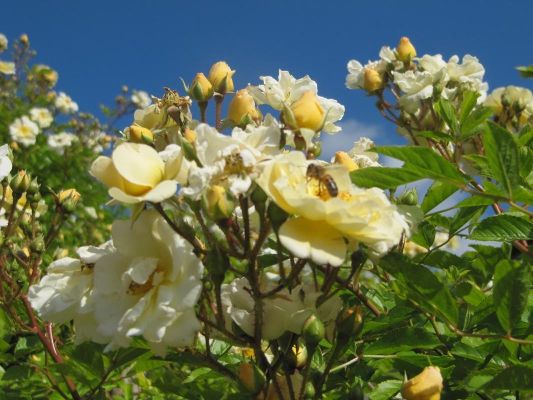 Les abeilles se régalent, observez tous ces insectes butineurs.