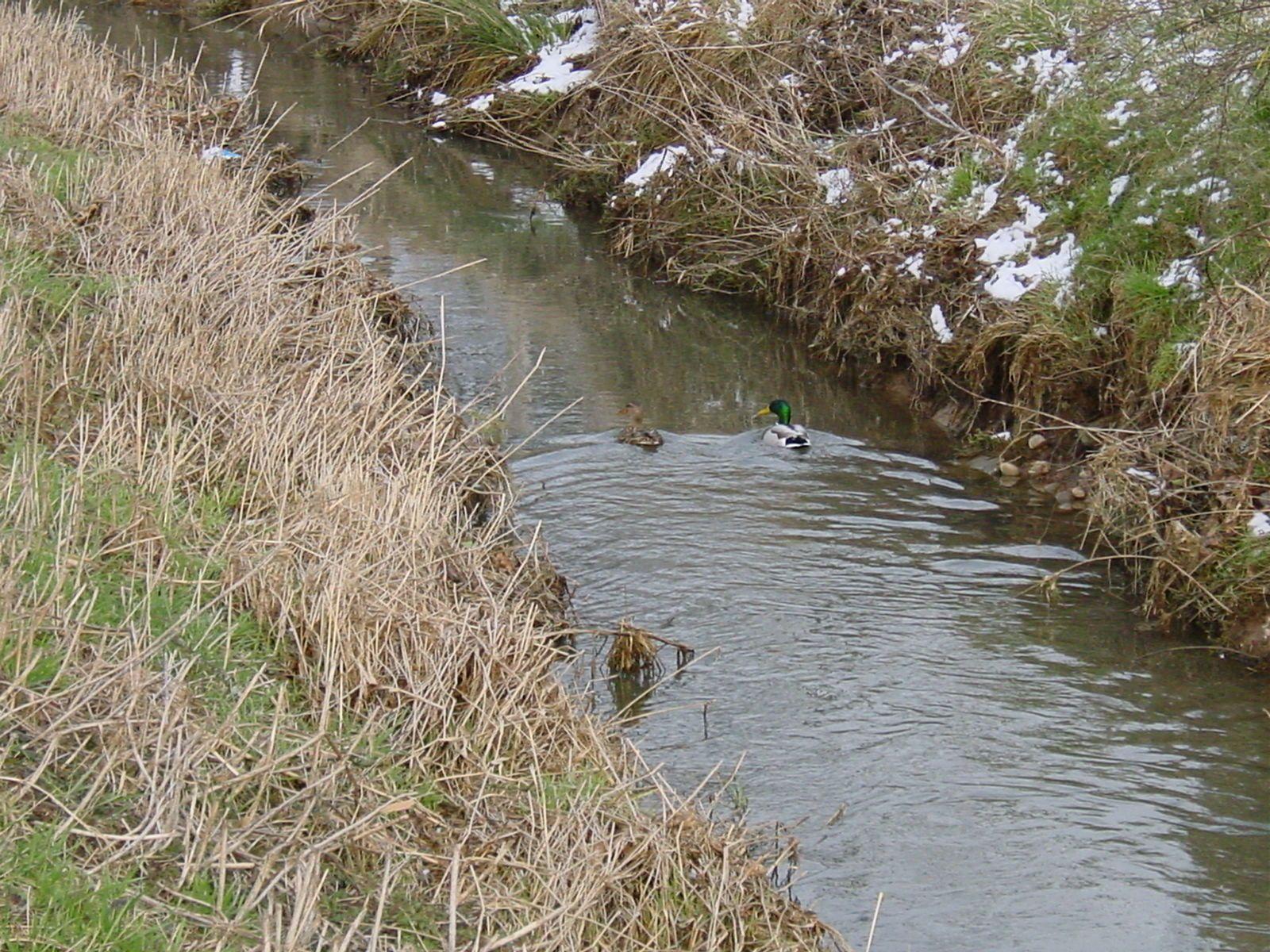 Couple canards col vert dans Mazurot