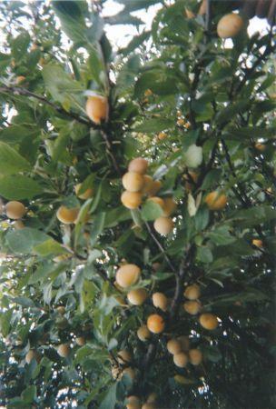 Les mirabelles cheres à notre Lorraine... à déguster à partir du 15 août Les côtes de Meuse sont une région magnifique
