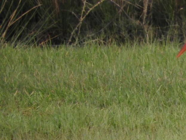 Cigogne dans le marais