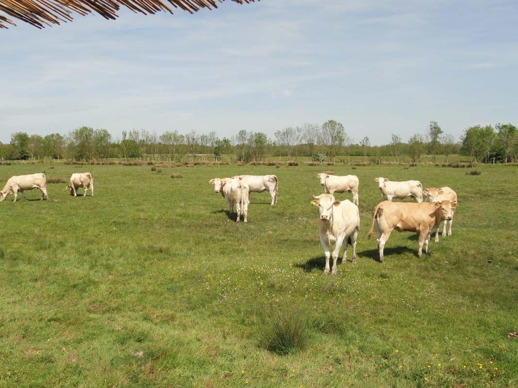 Vaches Marais