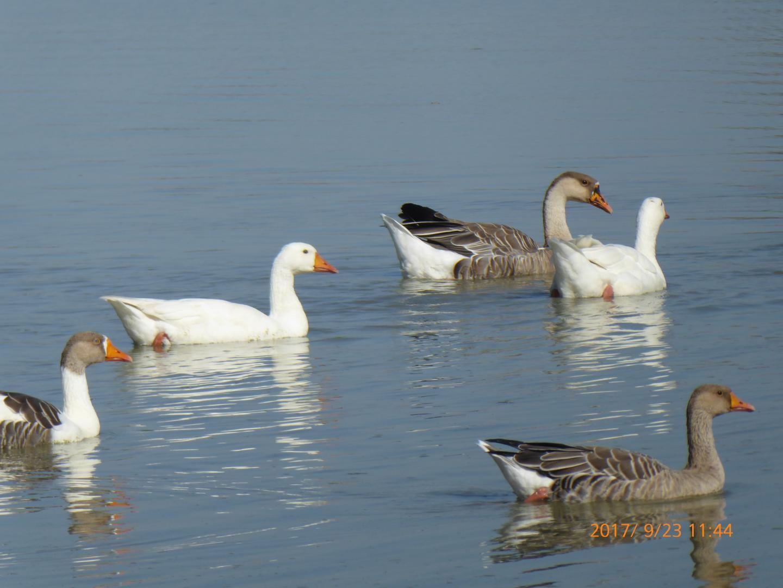 Canards et oies sur l'étang