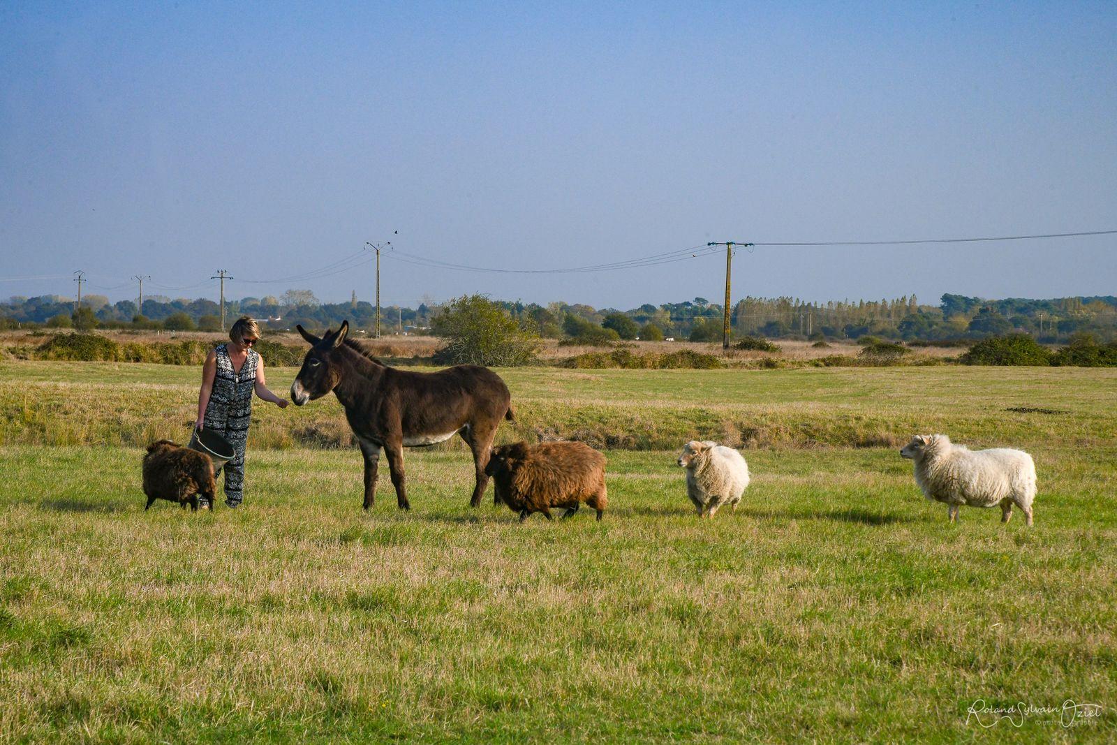 Anisse et nos quatre moutons : accès à leur pré sans danger.