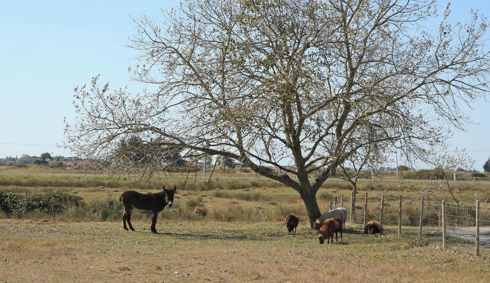 Nos amis les bêtes : une ânesse et quatre moutons.